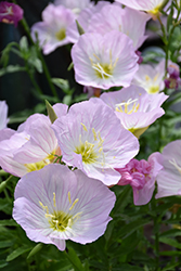 Siskiyou Mexican Evening Primrose (Oenothera berlandieri 'Siskiyou') at Van Atta's Greenhouse