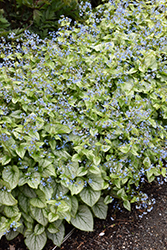 Jack Frost Bugloss (Brunnera macrophylla 'Jack Frost') at Van Atta's Greenhouse