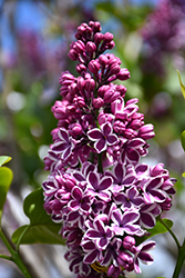 Sensation Lilac (Syringa vulgaris 'Sensation') at Van Atta's Greenhouse