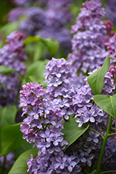 President Lincoln Lilac (Syringa vulgaris 'President Lincoln') at Van Atta's Greenhouse
