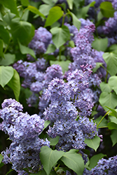 Wedgewood Blue Lilac (Syringa vulgaris 'Wedgewood Blue') at Van Atta's Greenhouse