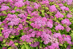 Magic Carpet Spirea (Spiraea x bumalda 'Magic Carpet') at Van Atta's Greenhouse