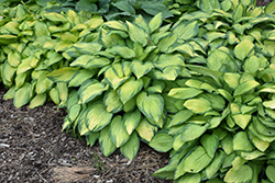 Paul's Glory Hosta (Hosta 'Paul's Glory') at Van Atta's Greenhouse