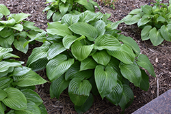 Plantain Lily (Hosta plantaginea) at Van Atta's Greenhouse