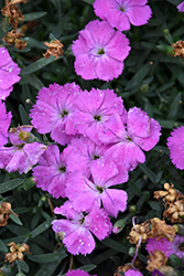 Paint The Town Fuchsia Pinks (Dianthus 'Paint The Town Fuchsia') at Van Atta's Greenhouse