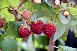 Heritage Raspberry (Rubus 'Heritage') at Van Atta's Greenhouse