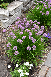 Summer Beauty Ornamental Chives (Allium tanguticum 'Summer Beauty') at Van Atta's Greenhouse