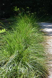 Autumn Moor Grass (Sesleria autumnalis) at Van Atta's Greenhouse
