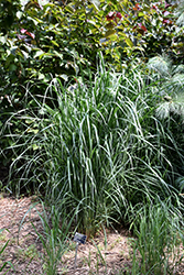 Thundercloud Switch Grass (Panicum virgatum 'Thundercloud') at Van Atta's Greenhouse