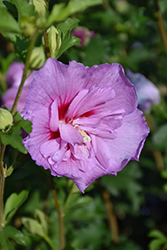Lavender Chiffon Rose Of Sharon (Hibiscus syriacus 'Notwoodone') at Van Atta's Greenhouse