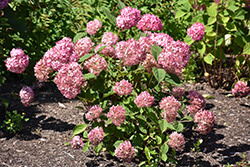 Invincibelle® Ruby Smooth Hydrangea (Hydrangea arborescens 'NCHA3') at Van Atta's Greenhouse
