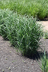 Prairie Winds® Apache Rose Switch Grass (Panicum virgatum 'Apache Rose') at Van Atta's Greenhouse