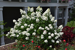 Fire Light® Hydrangea (Hydrangea paniculata 'SMHPFL') at Van Atta's Greenhouse