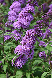 Peacock™ Butterfly Bush (Buddleia davidii 'Peakeep') at Van Atta's Greenhouse