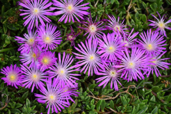 Table Mountain Ice Plant (Delosperma 'John Proffitt') at Van Atta's Greenhouse