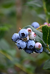 Chippewa Blueberry (Vaccinium 'Chippewa') at Van Atta's Greenhouse