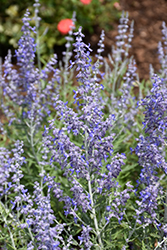 Lacey Blue Russian Sage (Perovskia atriplicifolia 'Lacey Blue') at Van Atta's Greenhouse