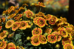 Mariachi™ Fuego Sneezeweed (Helenium autumnale 'Fuego') at Van Atta's Greenhouse