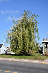 Prairie Cascade Weeping Willow (Salix 'Prairie Cascade') at Van Atta's Greenhouse