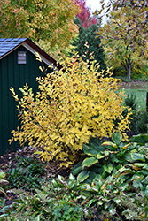 Vernal Witchhazel (Hamamelis vernalis) at Van Atta's Greenhouse