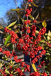 Winterberry (Ilex verticillata) at Van Atta's Greenhouse