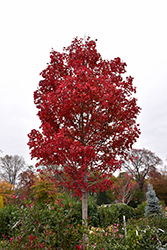 October Glory Red Maple (Acer rubrum 'October Glory') at Van Atta's Greenhouse