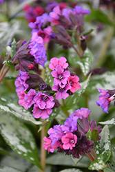 Silver Bouquet Lungwort (Pulmonaria 'Silver Bouquet') at Van Atta's Greenhouse