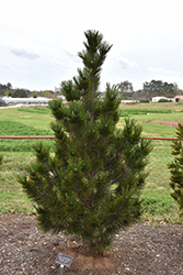 Emerald Arrow Bosnian Pine (Pinus heldreichii 'Emerald Arrow') at Van Atta's Greenhouse