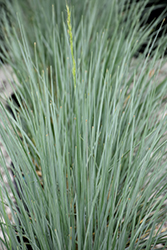 Sapphire Blue Oat Grass (Helictotrichon sempervirens 'Sapphire') at Van Atta's Greenhouse