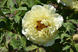 High Noon Tree Peony (Paeonia suffruticosa 'High Noon') at Van Atta's Greenhouse