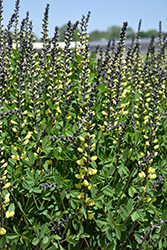 Decadence® Lemon Meringue False Indigo (Baptisia 'Lemon Meringue') at Van Atta's Greenhouse