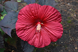 Summerific® Holy Grail Hibiscus (Hibiscus 'Holy Grail') at Van Atta's Greenhouse