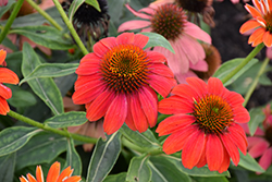Lakota™ Fire Coneflower (Echinacea 'Lakota Fire') at Van Atta's Greenhouse