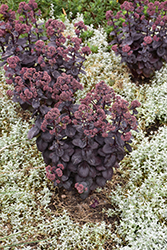 Night Embers Stonecrop (Sedum 'Night Embers') at Van Atta's Greenhouse