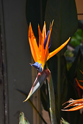 Orange Bird Of Paradise (Strelitzia reginae) at Van Atta's Greenhouse