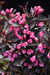 Spilled Wine® Weigela (Weigela florida 'Bokraspiwi') at Van Atta's Greenhouse