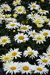 Banana Cream Shasta Daisy (Leucanthemum x superbum 'Banana Cream') at Van Atta's Greenhouse