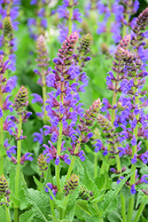 Sallyrosa™ April Night Meadow Sage (Salvia nemorosa 'DSALRS203') at Van Atta's Greenhouse